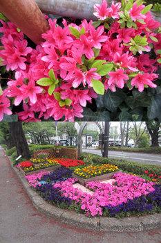 2013年4月20日*花壇に咲く花(つつじ、ペチュニアなど)