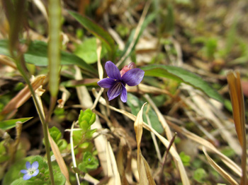 2013年4月9日*スミレの花(自宅の庭で)