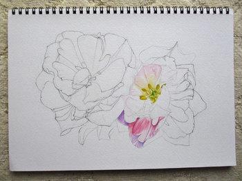 2013年5月1日*色鉛筆画「チューリップ」途中経過。