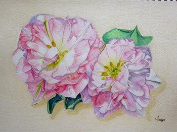 2013年6月20日*色鉛筆画「八重咲きチューリップ」