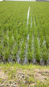 2013年6月28日*今年も福島の米は元気ですp(^―^)q
